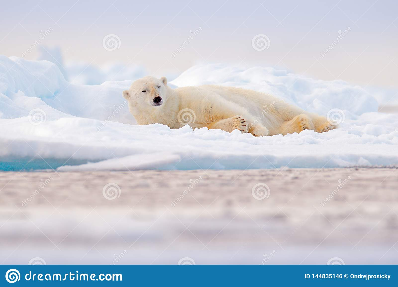 Urso polar na borda do gelo de tra??o com neve e na ?gua no mar de Noruega Animal branco no habitat da natureza, Svalbard, Europa