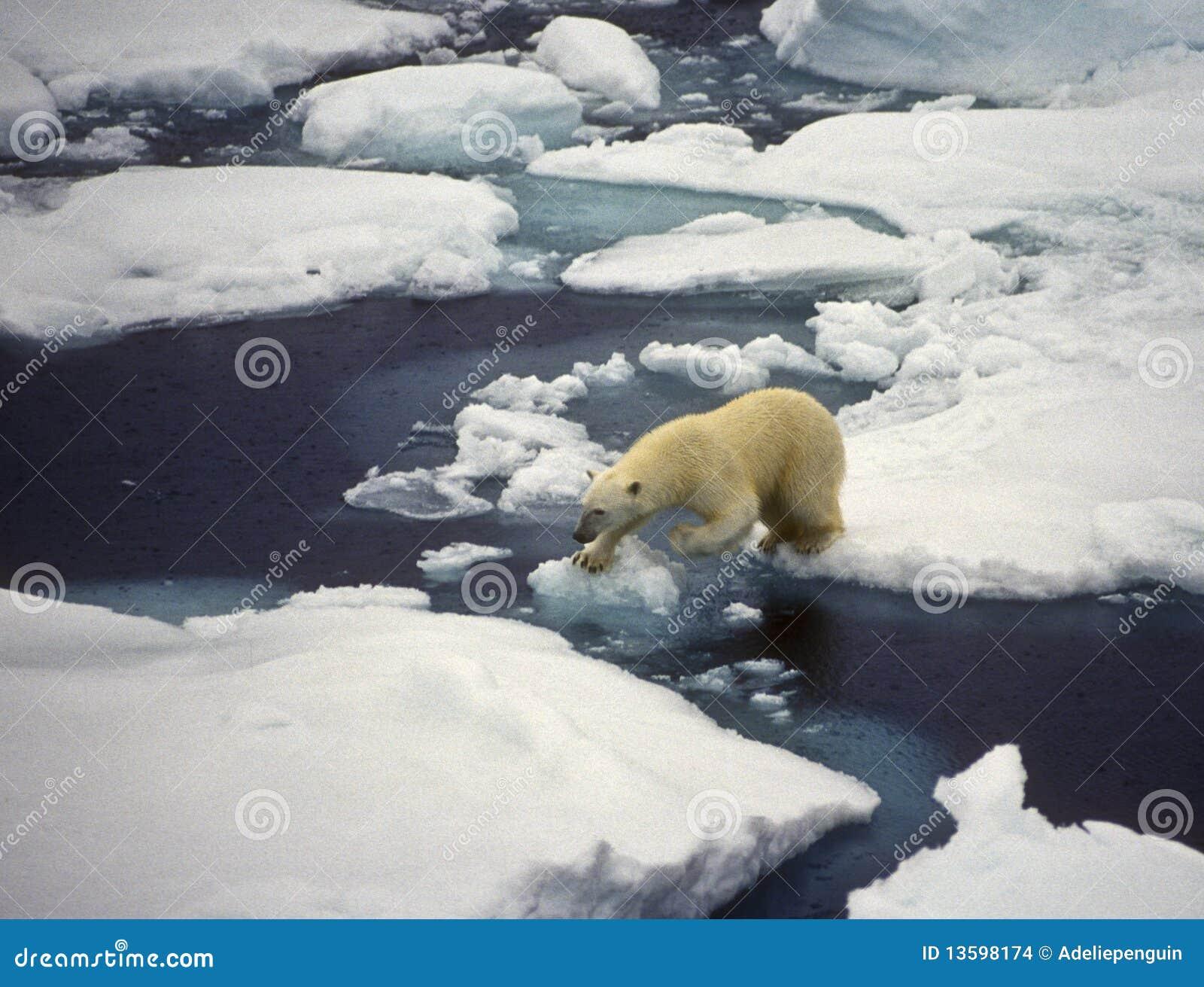 Urso polar no gelo