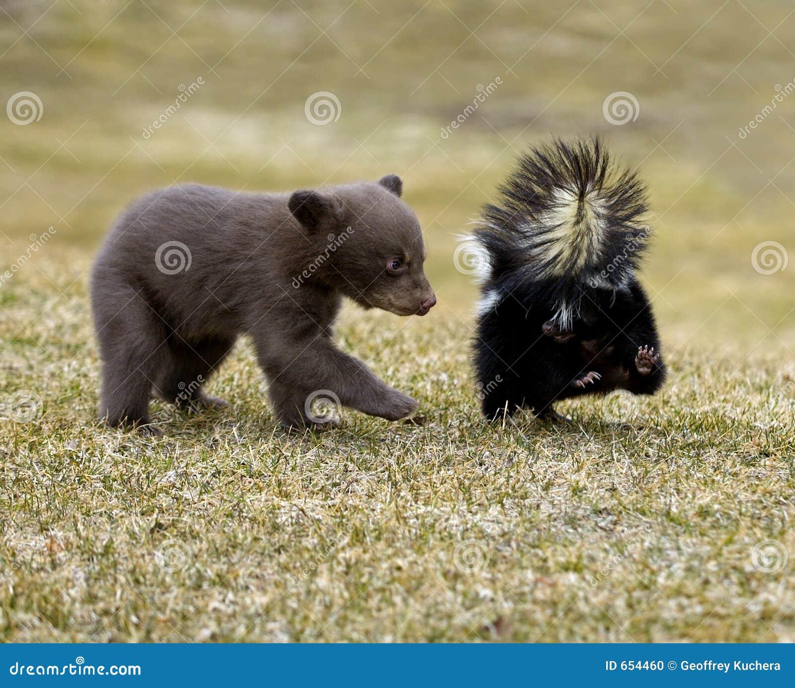 Urso preto curioso (Ursus americano) e jaritataca listrada