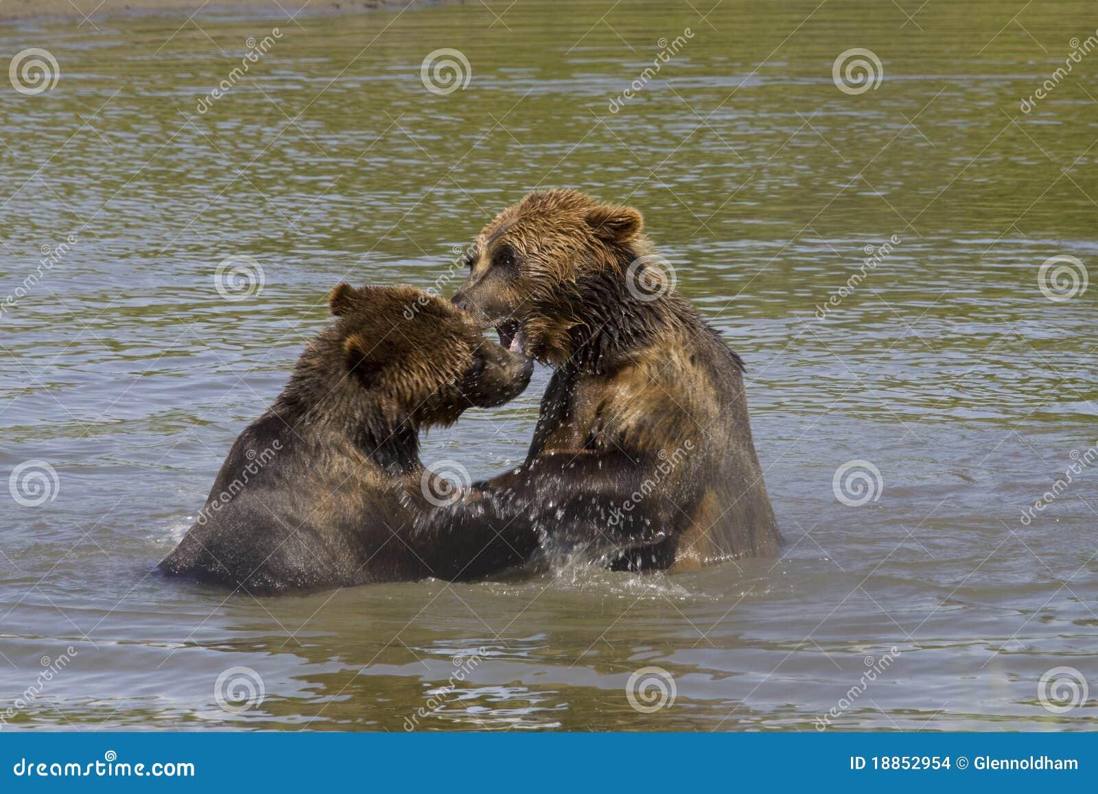 Ursos de Brown que jogam na água