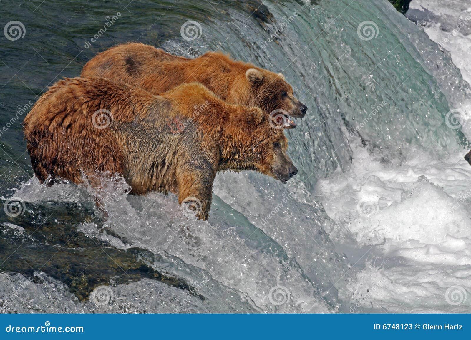 Ursos do urso na cachoeira