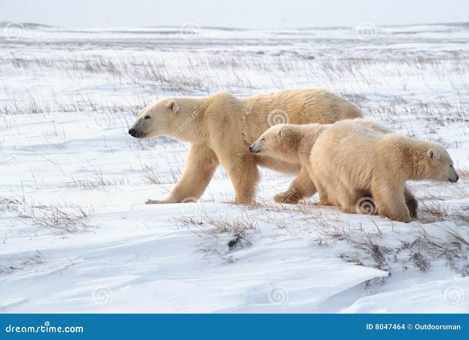 Ursos Polares 3d