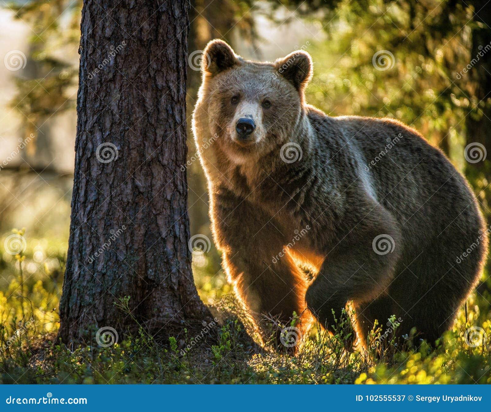 Ursus adulto selvagem Arctos do urso de Brown