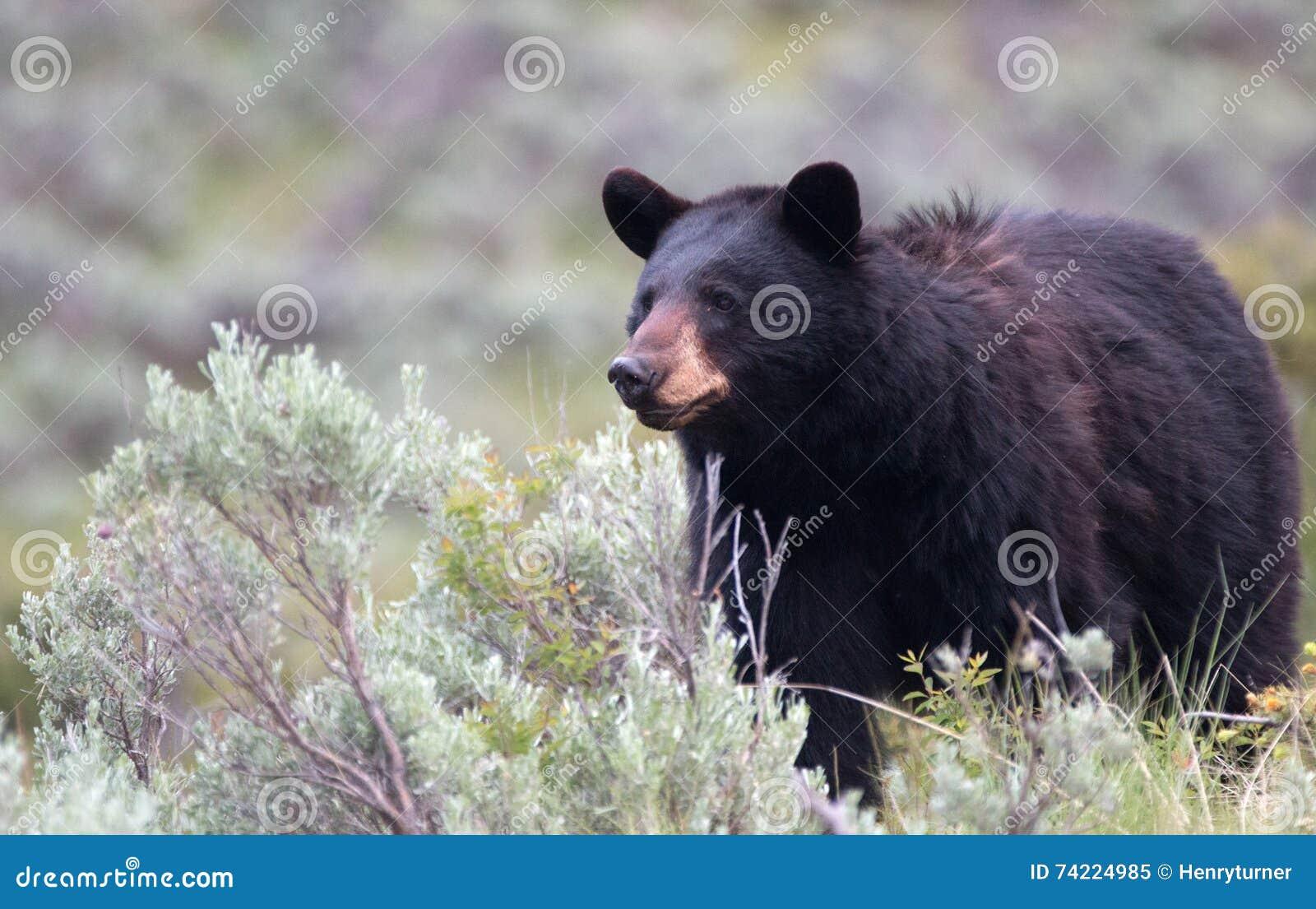 Ursus americano fêmea do urso preto americano no parque nacional de Yellowstone em Wyoming