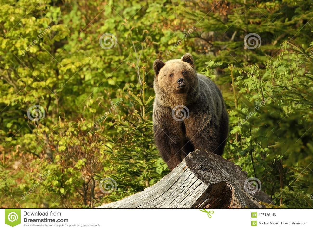 Ursus arctos. Brown bear. The photo was taken in Slovakia.