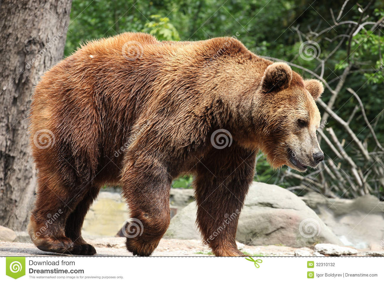 Ursus Arctos Stock Photography - Image: 32310132
