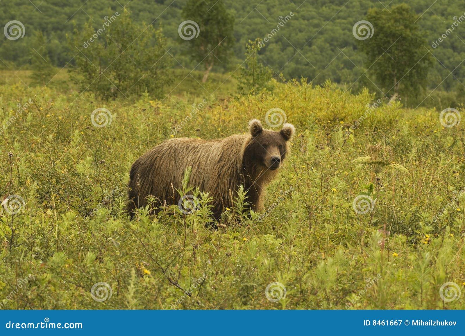 Ursus för jeniseensis för arctosbjörnbrown