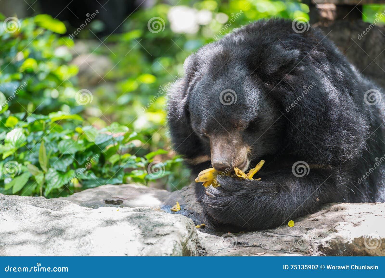 Ursus Thibetanus Eating Banana Stock Photo Image Of Garden Bear