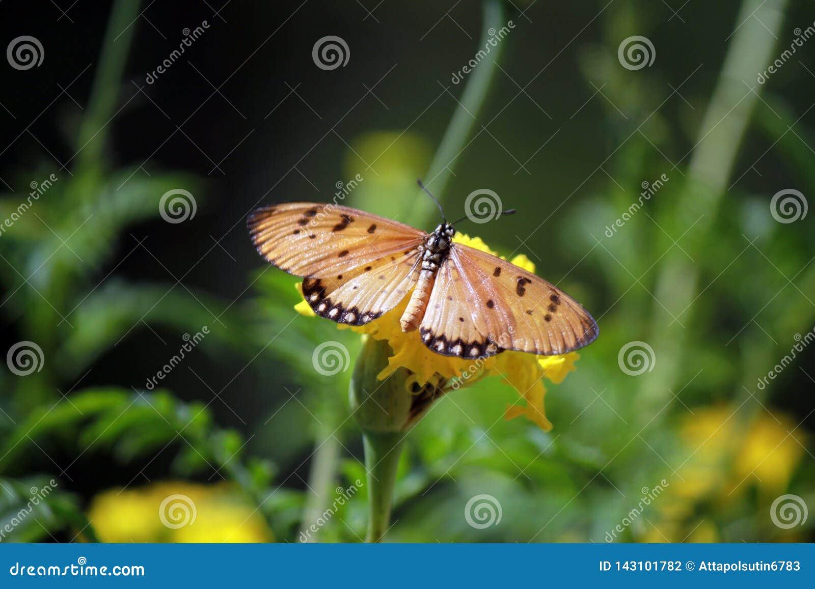 Urticae för mint s för aglaisfjärilsblomma