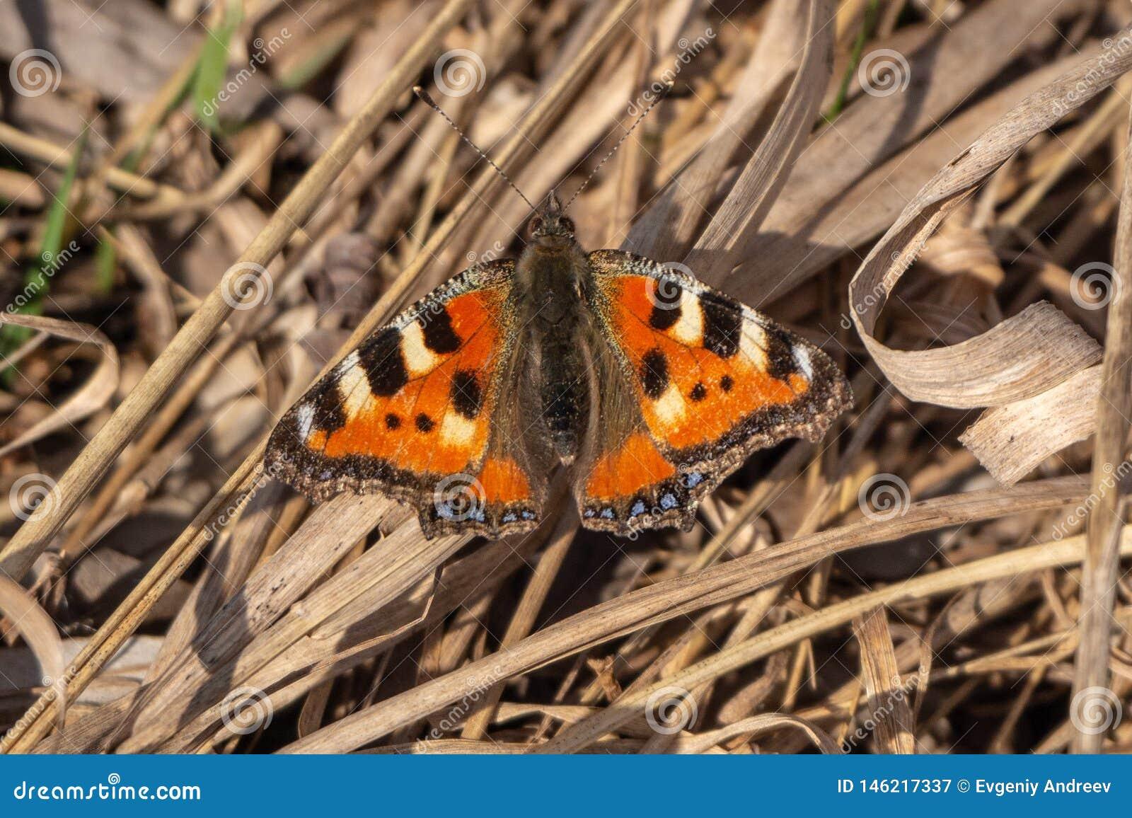 Urticaria de papillon