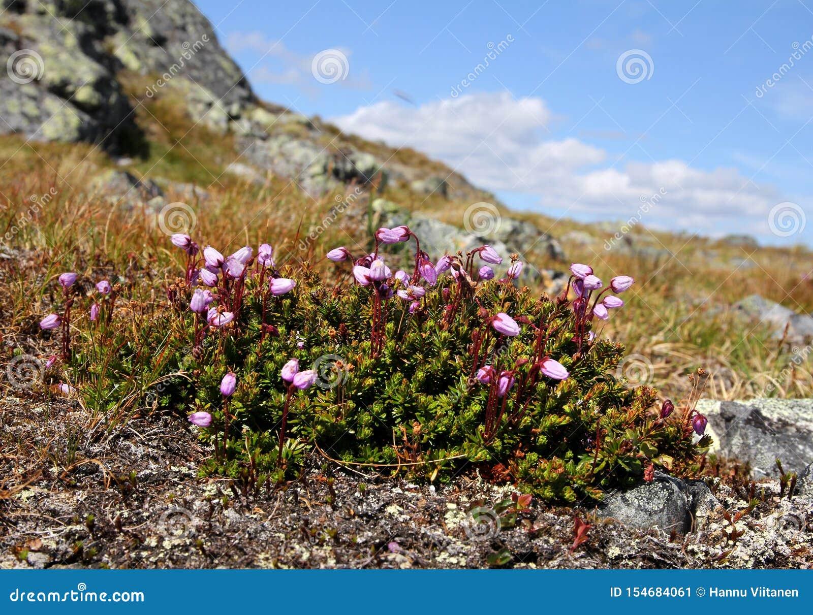 Urze da montanha roxa em Lapland finlandês