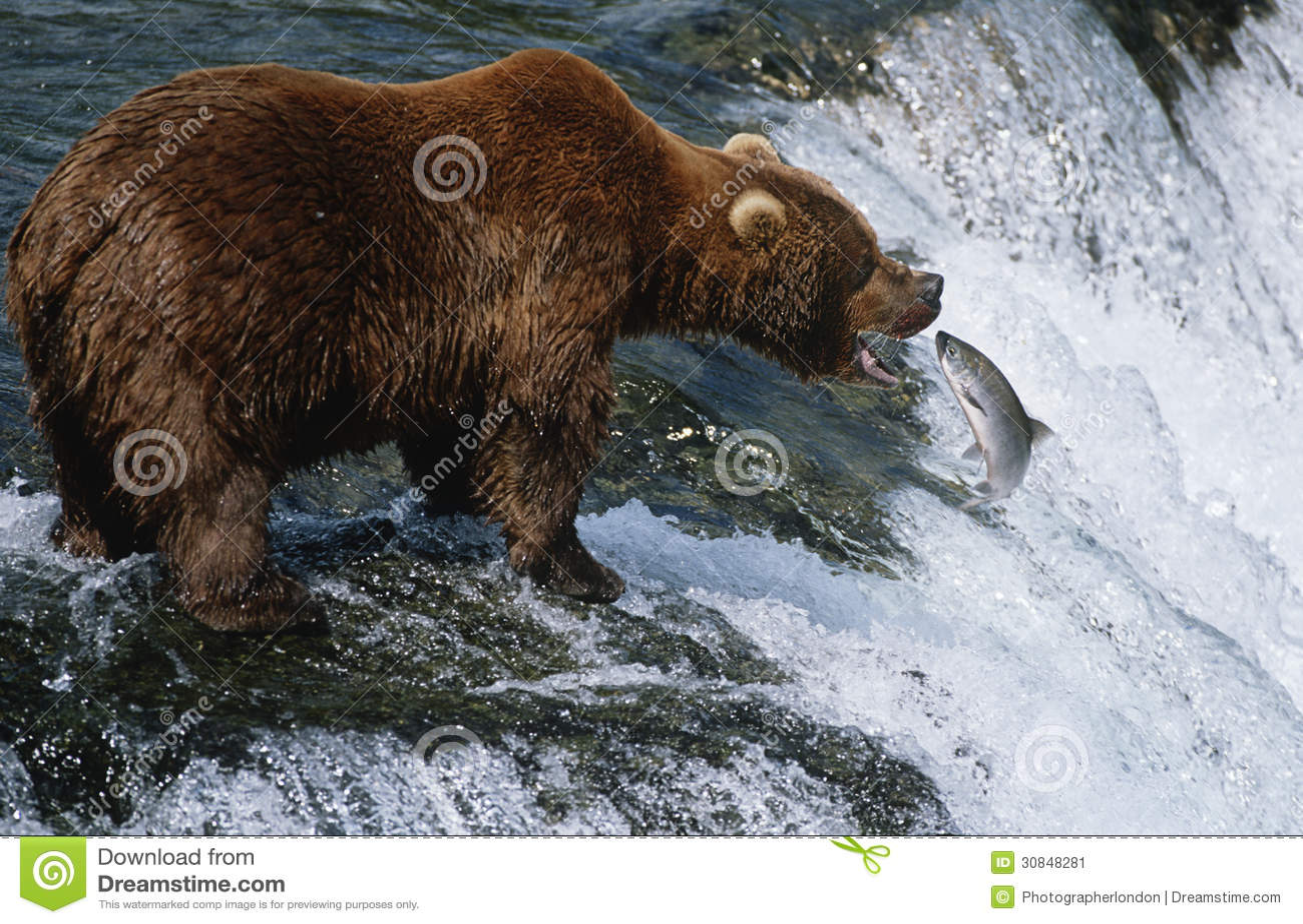 Usa alaska katmai national park brown bear catching salmon for Bear catching fish