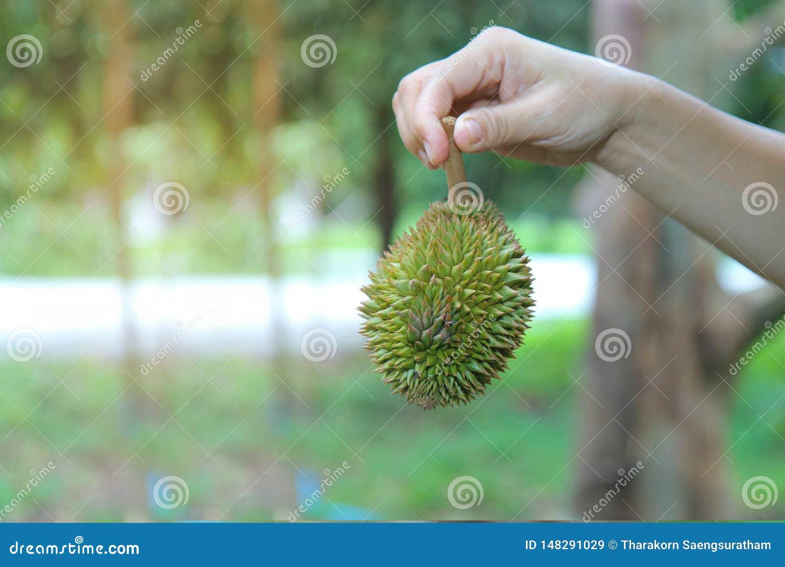Use o assistente para levantar um durian pequeno de Montong que cai fora a árvore antes que possa ser usada como o alimento