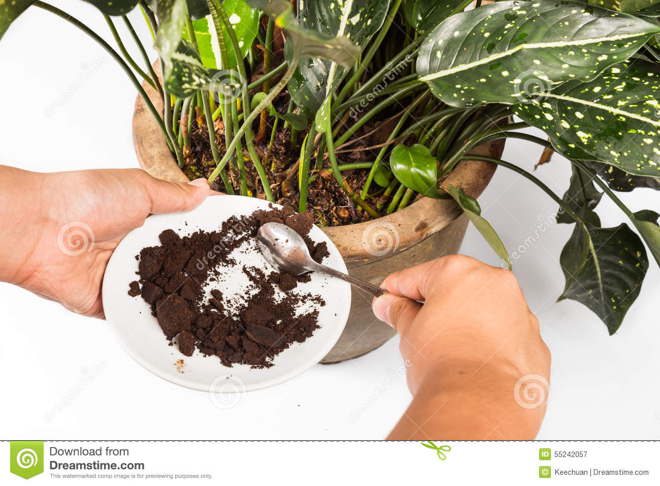 Used or spent coffee grounds being used as natural plants fertilizer
