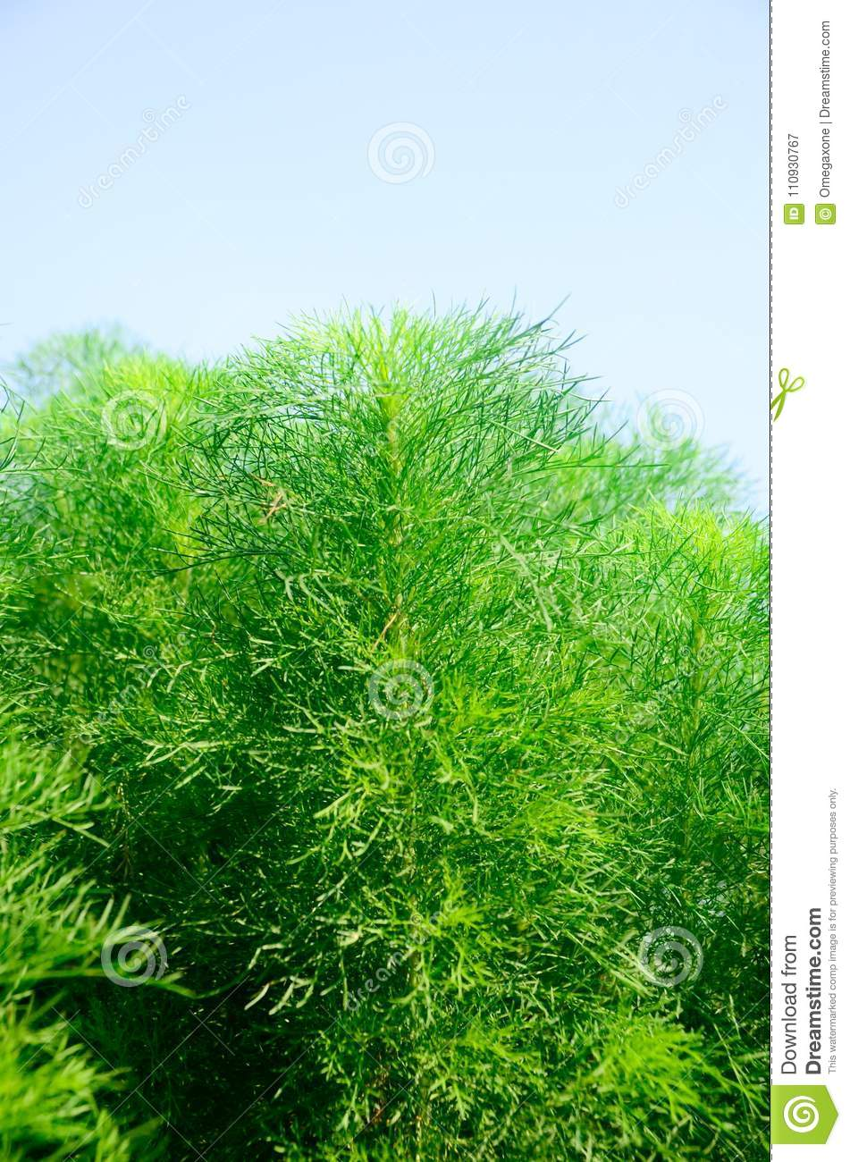 What is useful for dill