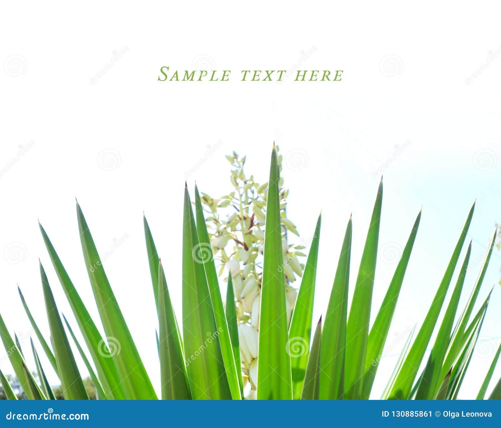 Usine d agave avec les pétales blancs de Croatie
