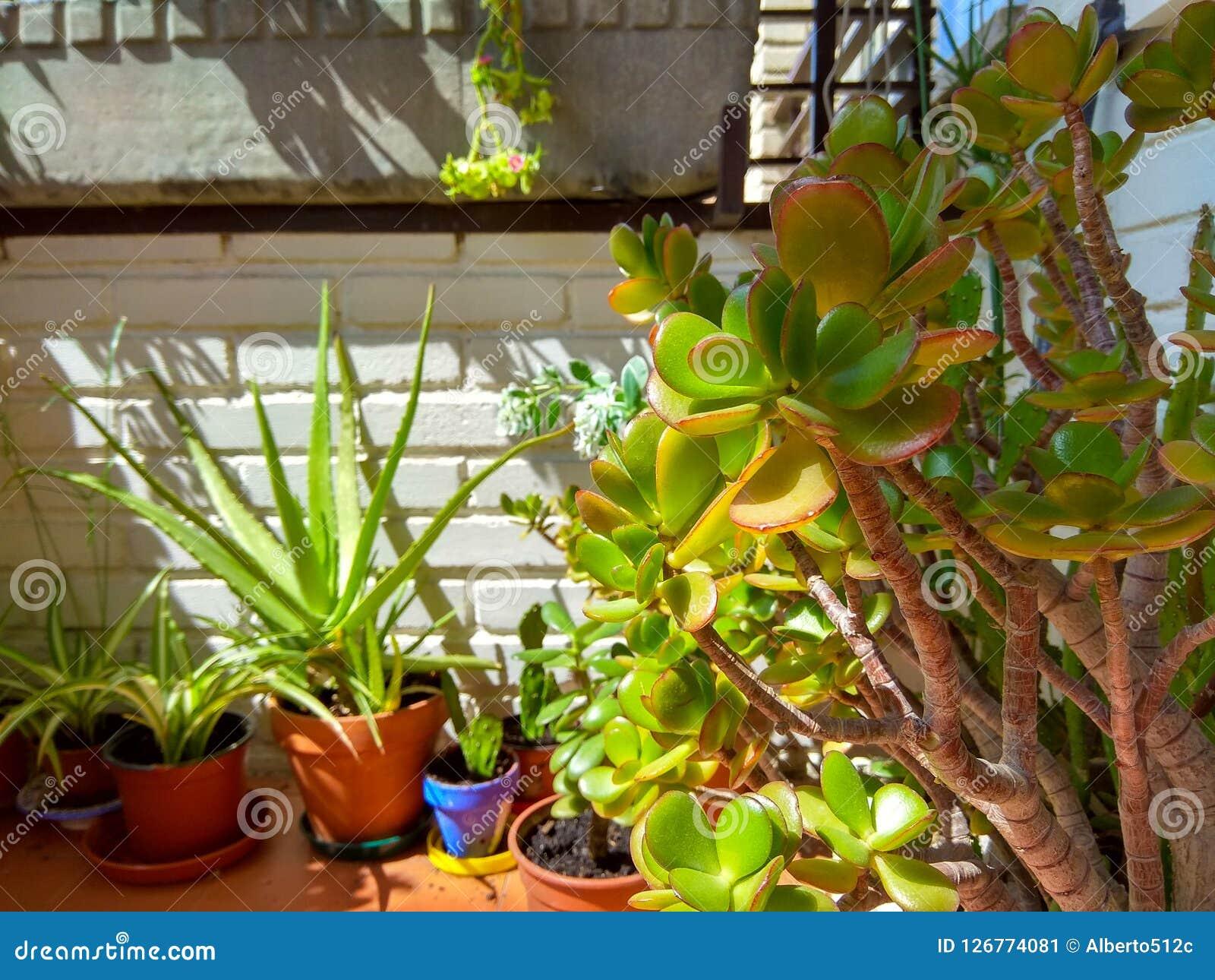 Arbre En Pot Terrasse usine d'arbre de jade image stock. image du flore, lame