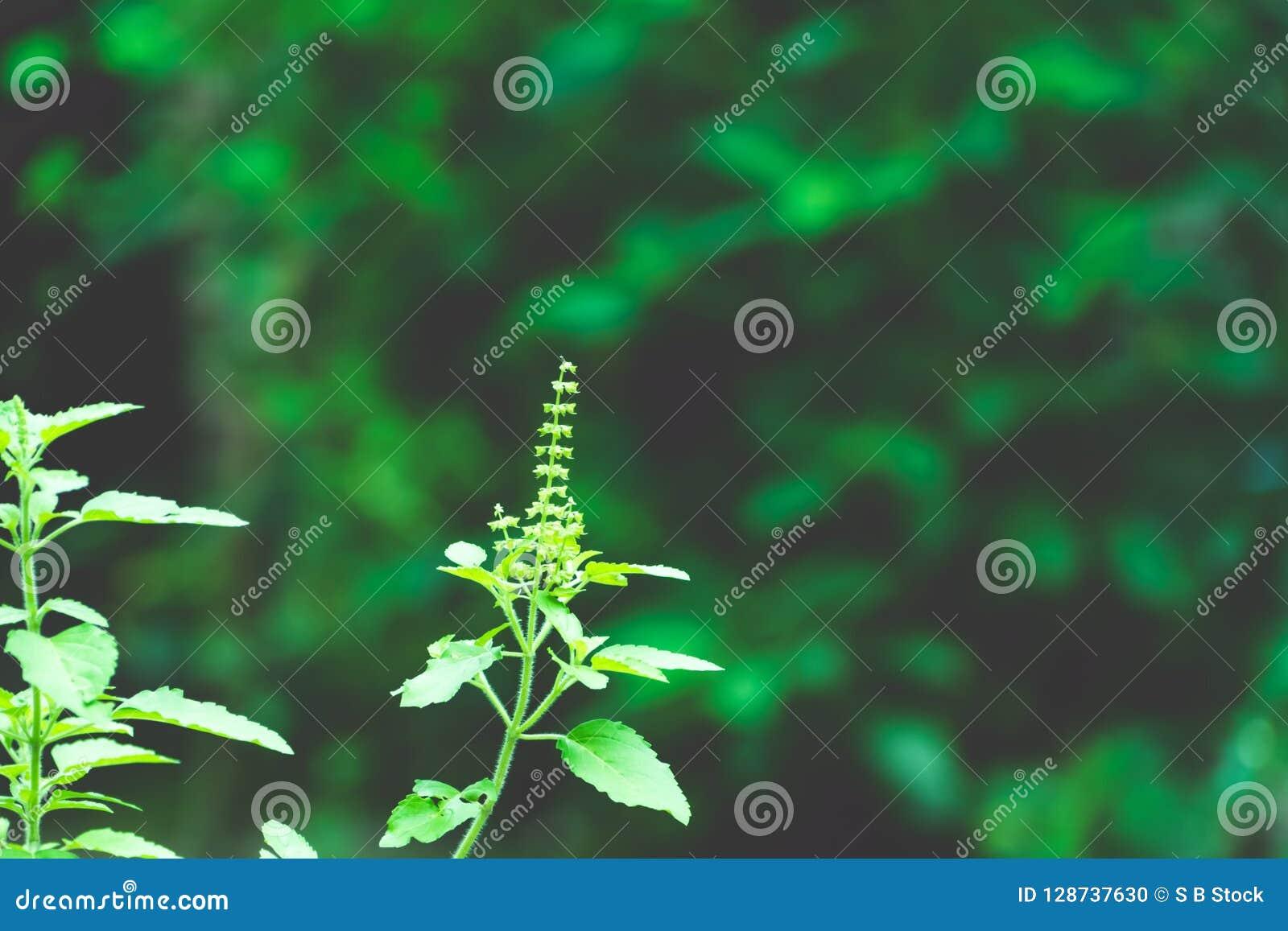 Usine d arbre de vert de Tulasi