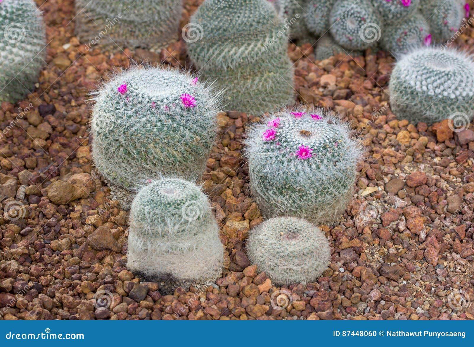 Usine De Cactus De Pelote A Epingles Avec La Fleur Rose Photo Stock