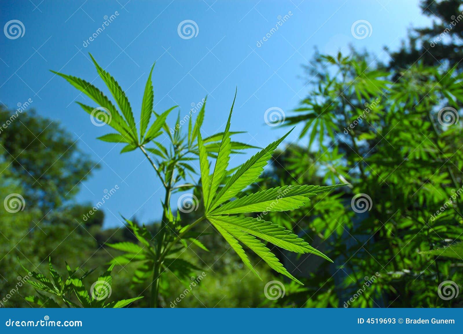 Usine de cannabis