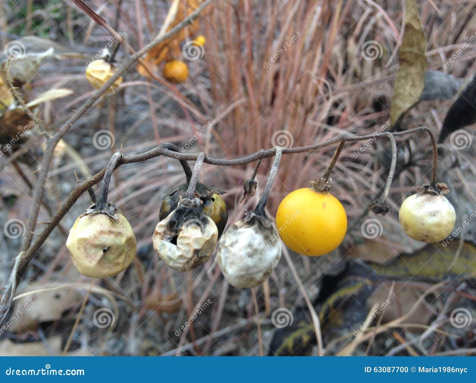 Download Usine De Carolinense De Solanum Avec Le Fruit En Automne Photo stock - Image du famille, lincoln: 63087700