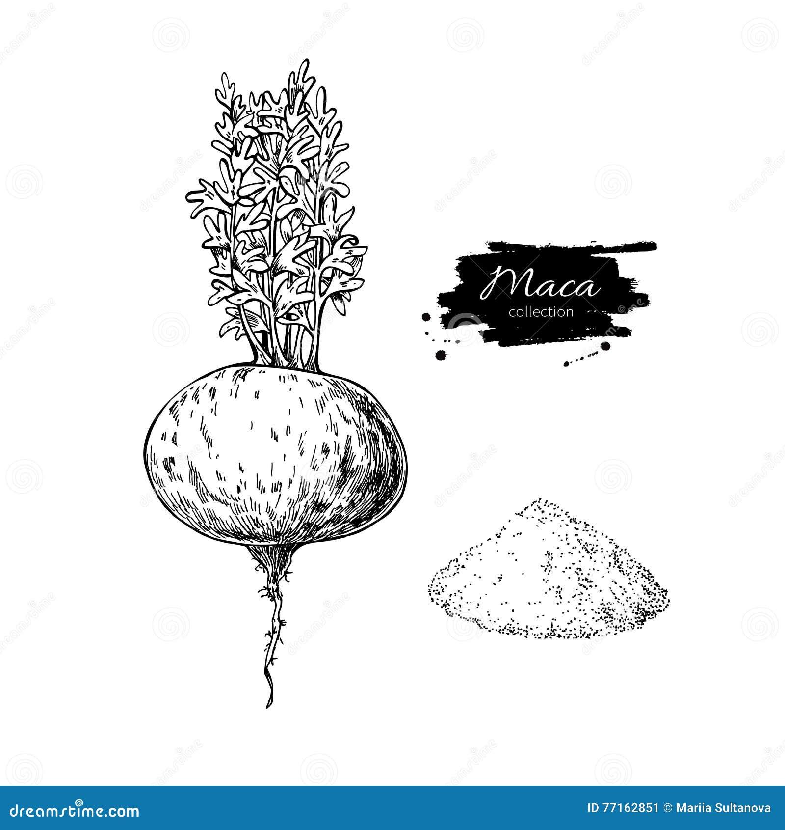 Usine de Maca et dessin de superfood de poudre Dr. d isolement de main