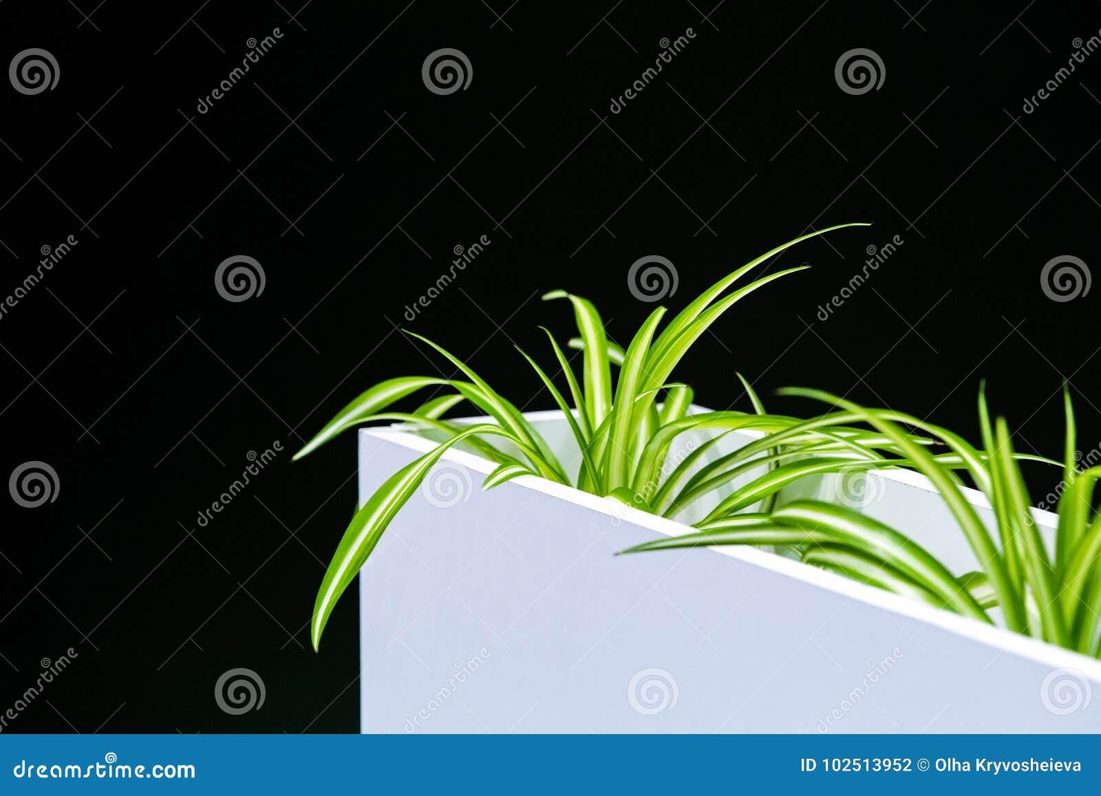 Usine de maison verte de bureau dans un pot blanc sur un fond noir