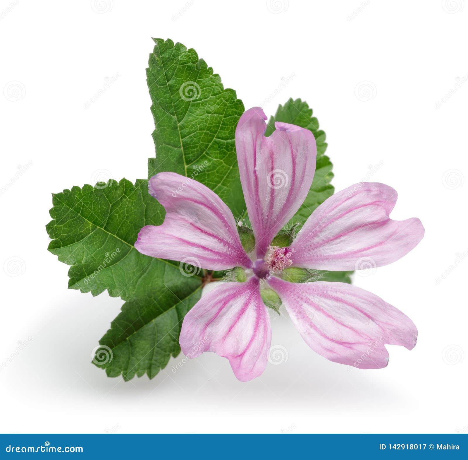 Usine de mauve avec des fleurs et des feuilles d isolement