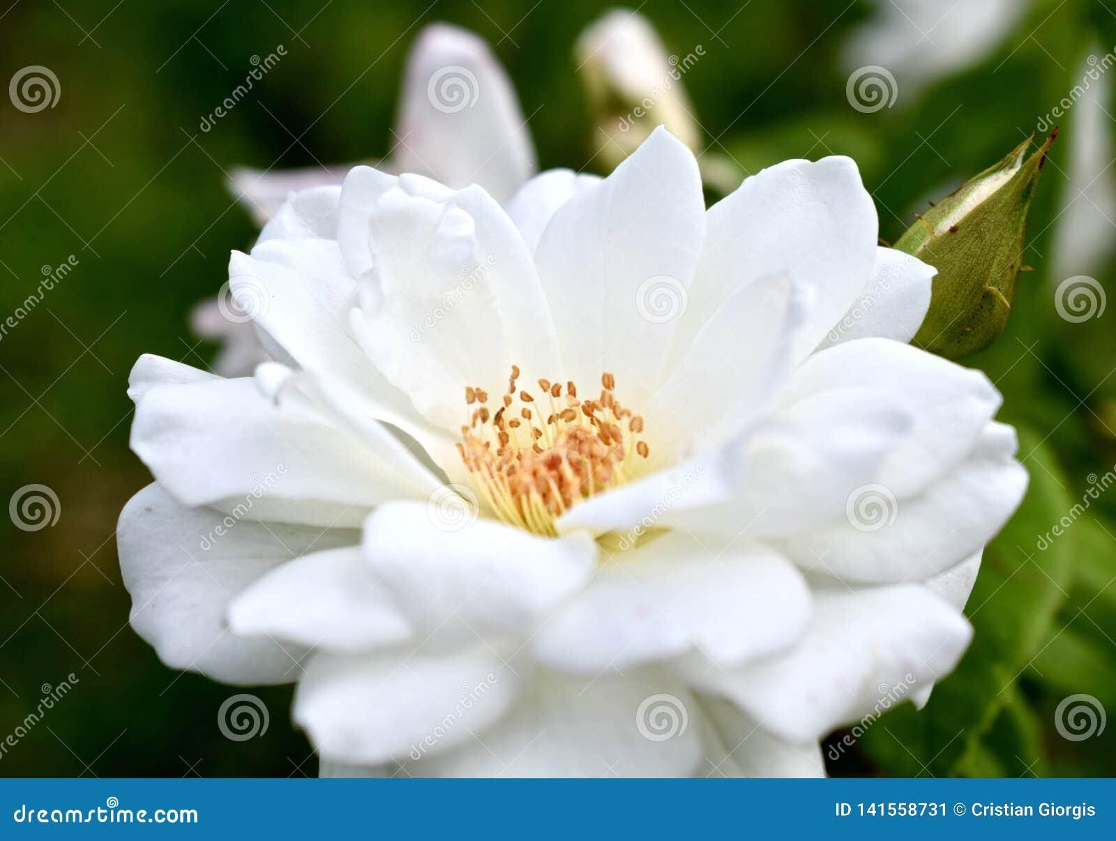 Usine de Rose blanche