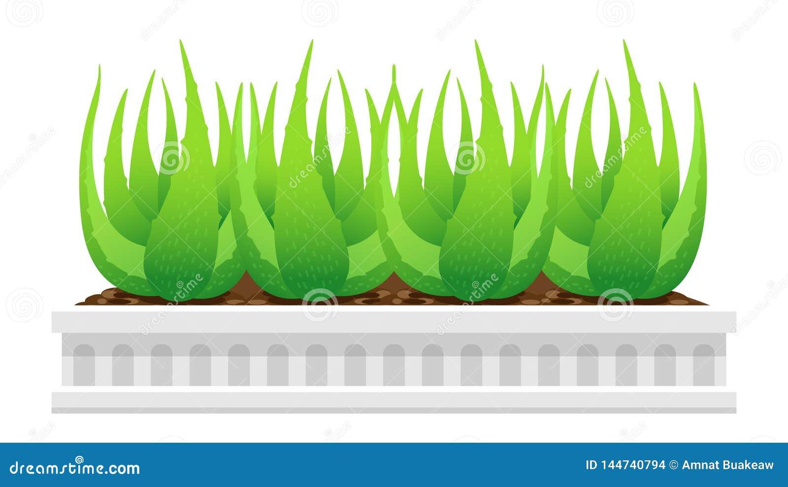 Usine De Vera D Aloes Dans Le Pot Blanc D Isolement Sur Le Fond Blanc Clipart Images Graphiques Des Feuilles De Vera D Aloes Illustration De Vecteur Illustration Du Graphiques Isolement 144740794