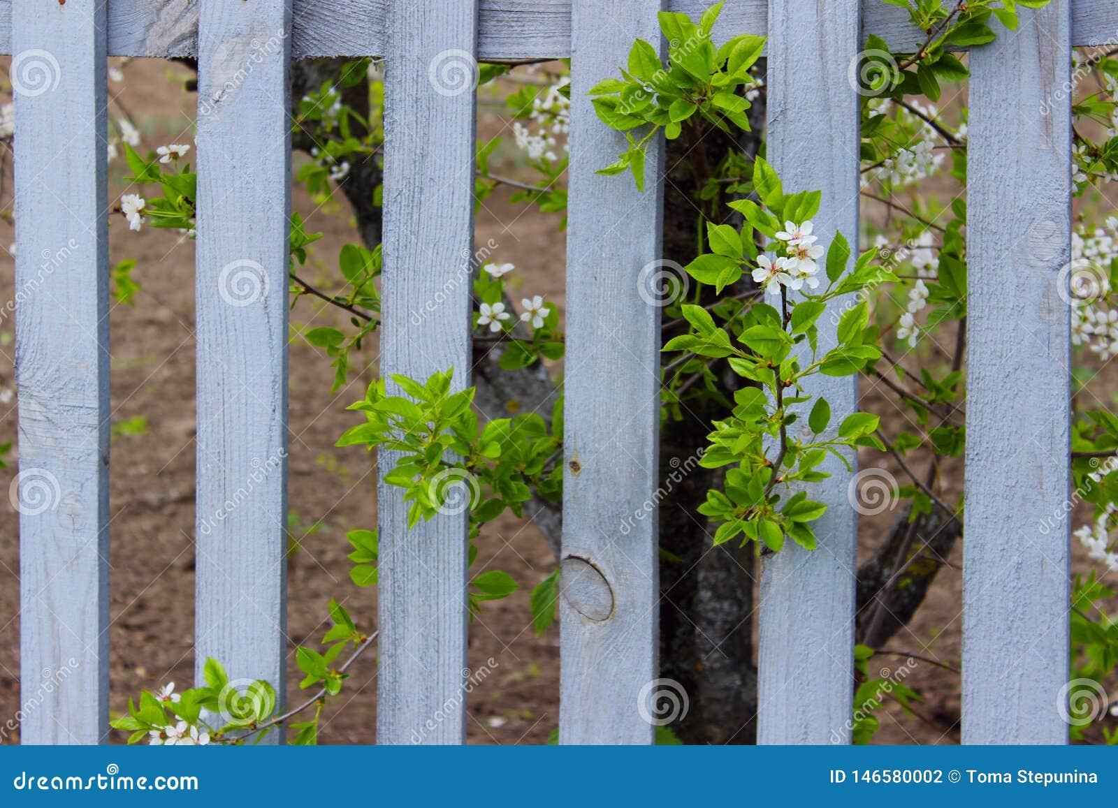 Usine et Gray Wooden Fence de floraison Nature, concept de jardinage Fond de nature