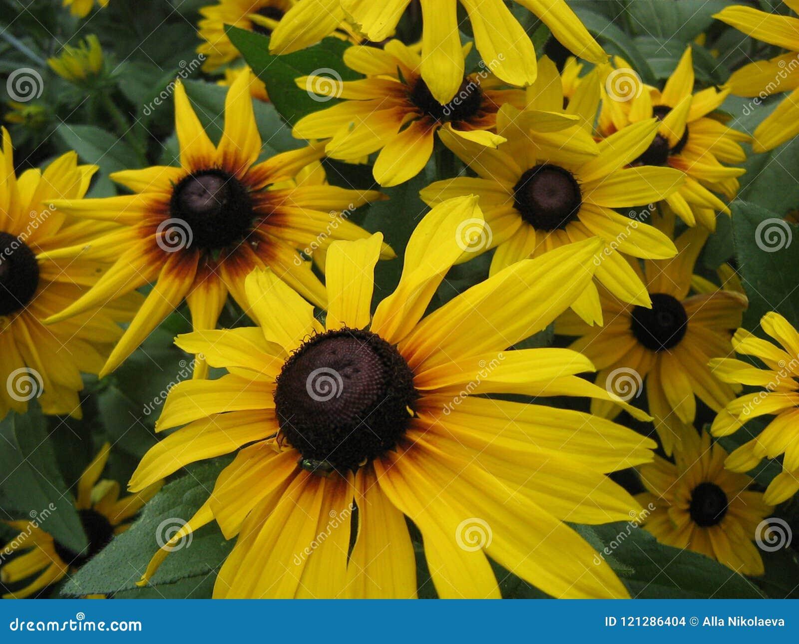 Usine fleurissante de lit de fleur de jardin d\u0027été de nature belle avec de grandes  fleurs jaunes