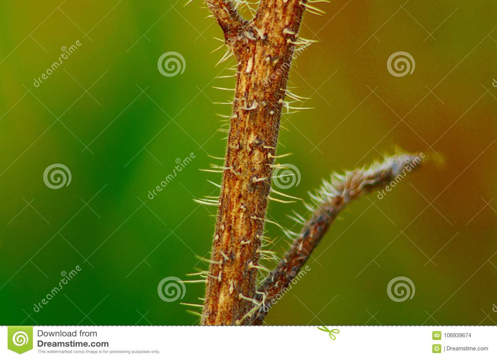 Usine herbeuse annuelle typique de la péninsule italienne