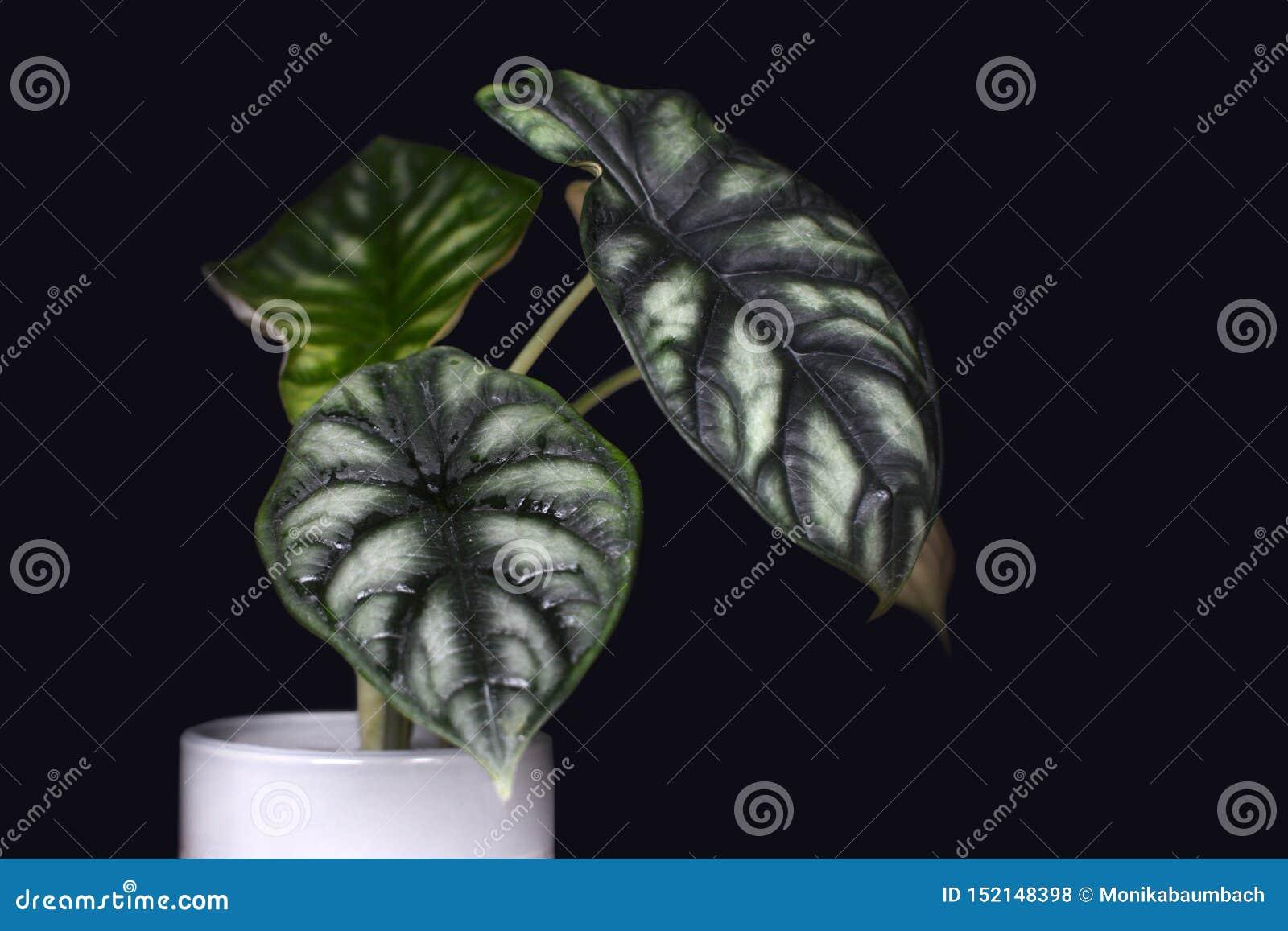 Usine mise en pot tropicale exotique de maison de Baginda Cuprea Dragon Scale d Alocasia sur le fond noir foncé