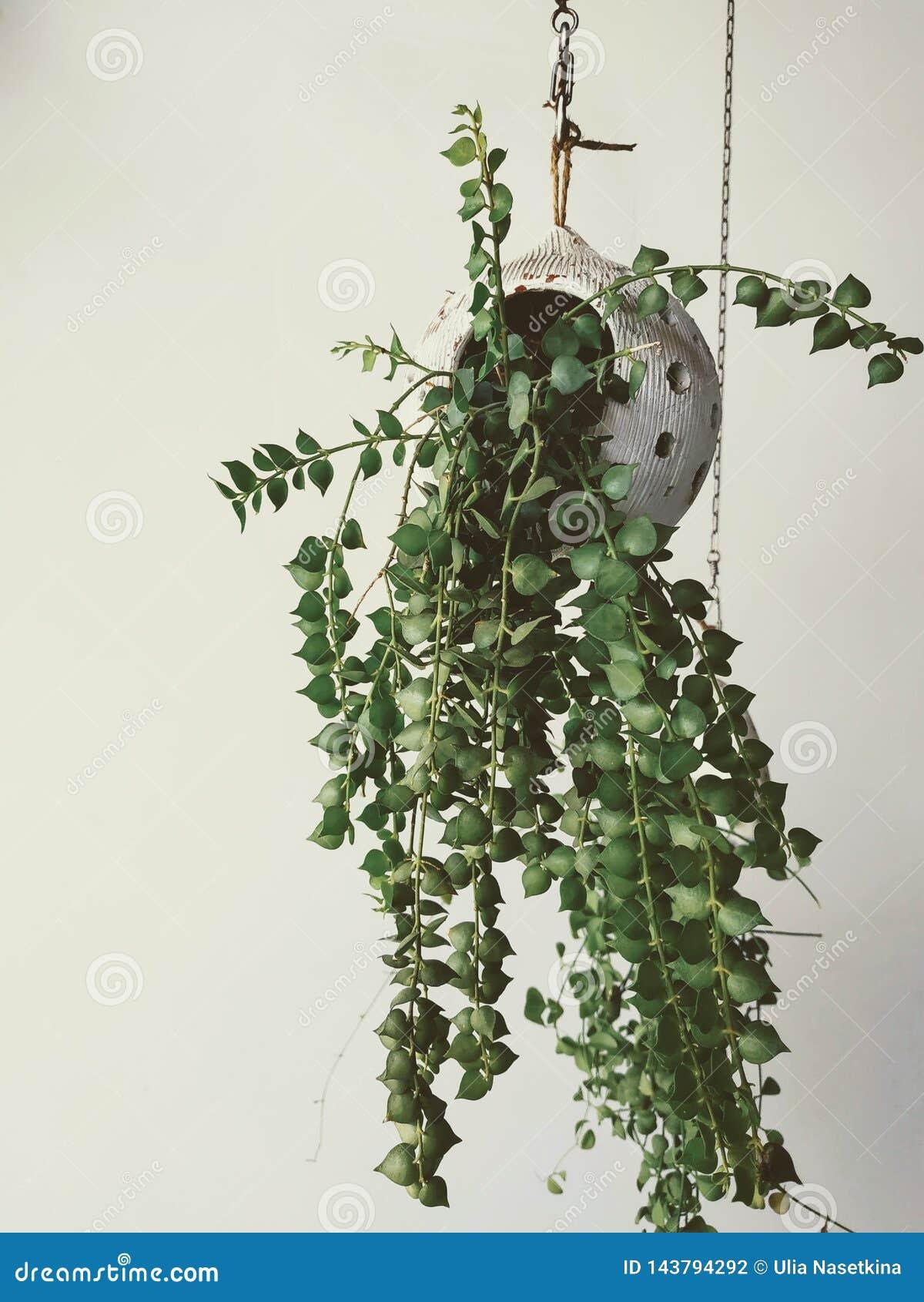 Usine mise en pot verte fraîche, décoration intérieure