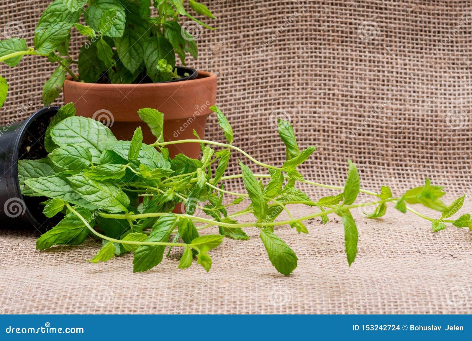 Planter Menthe En Pot usine organique mise en pot de menthe poivrée avec des