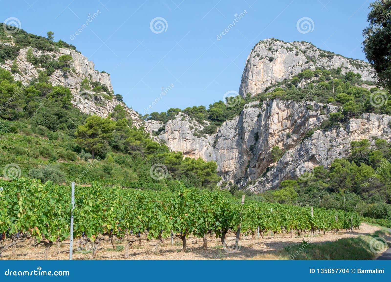 Usine rouge française de raisins de cuve d AOC, nouvelle récolte de raisin de cuve dans le domaine ou le vignoble Dentelles De de