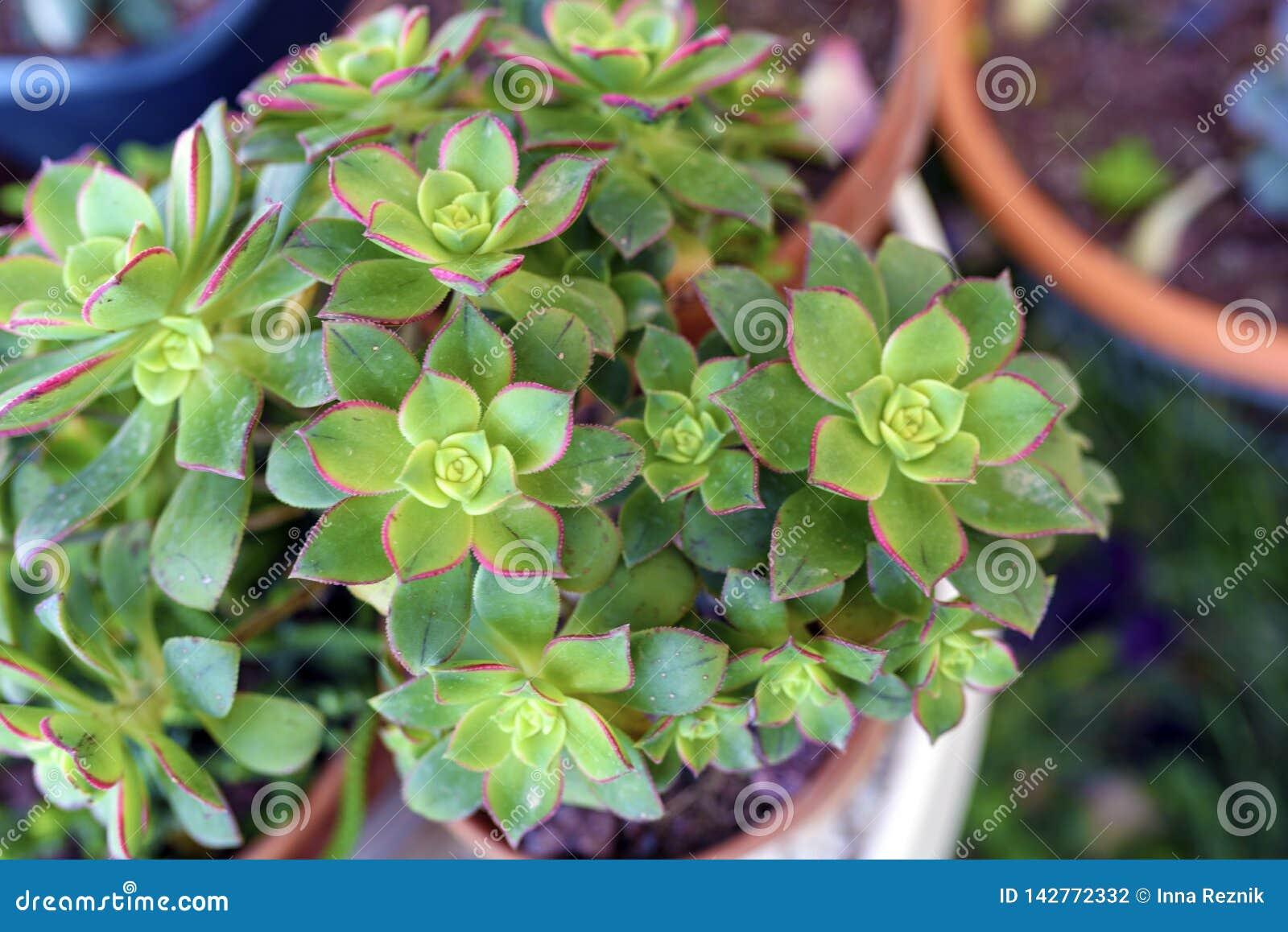 Usine succulente de kiwi d Aeonium dans le pot de fleur