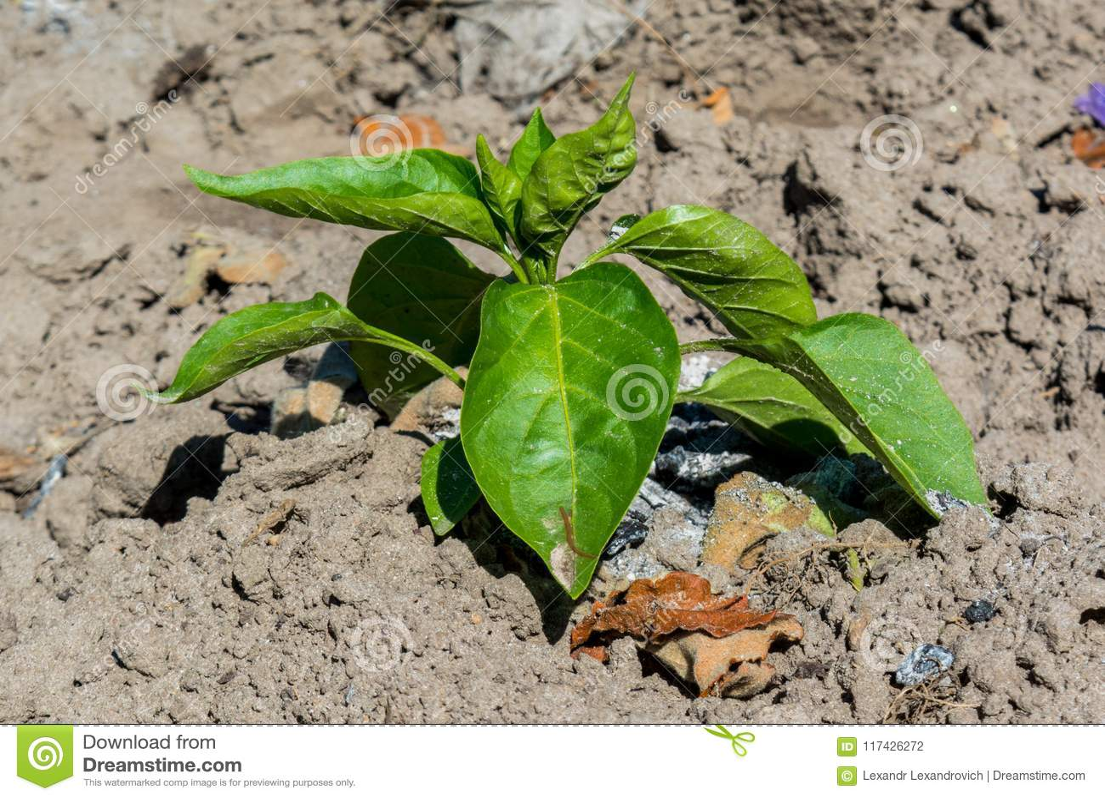 Usine verdoyante verte minuscule d herbe de basilic s élevant dans le jardin