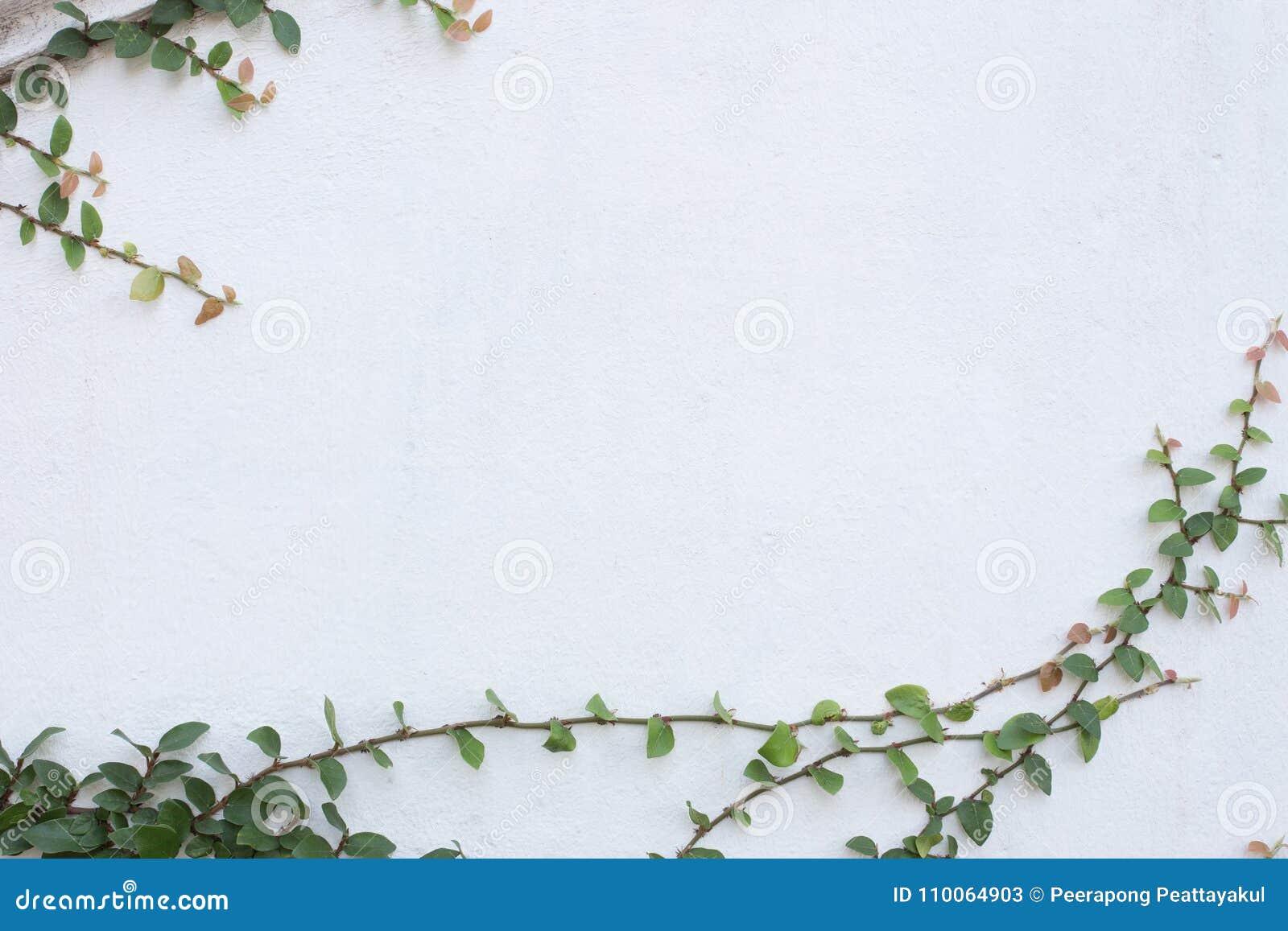 usine verte de plante grimpante sur le mur blanc image. Black Bedroom Furniture Sets. Home Design Ideas