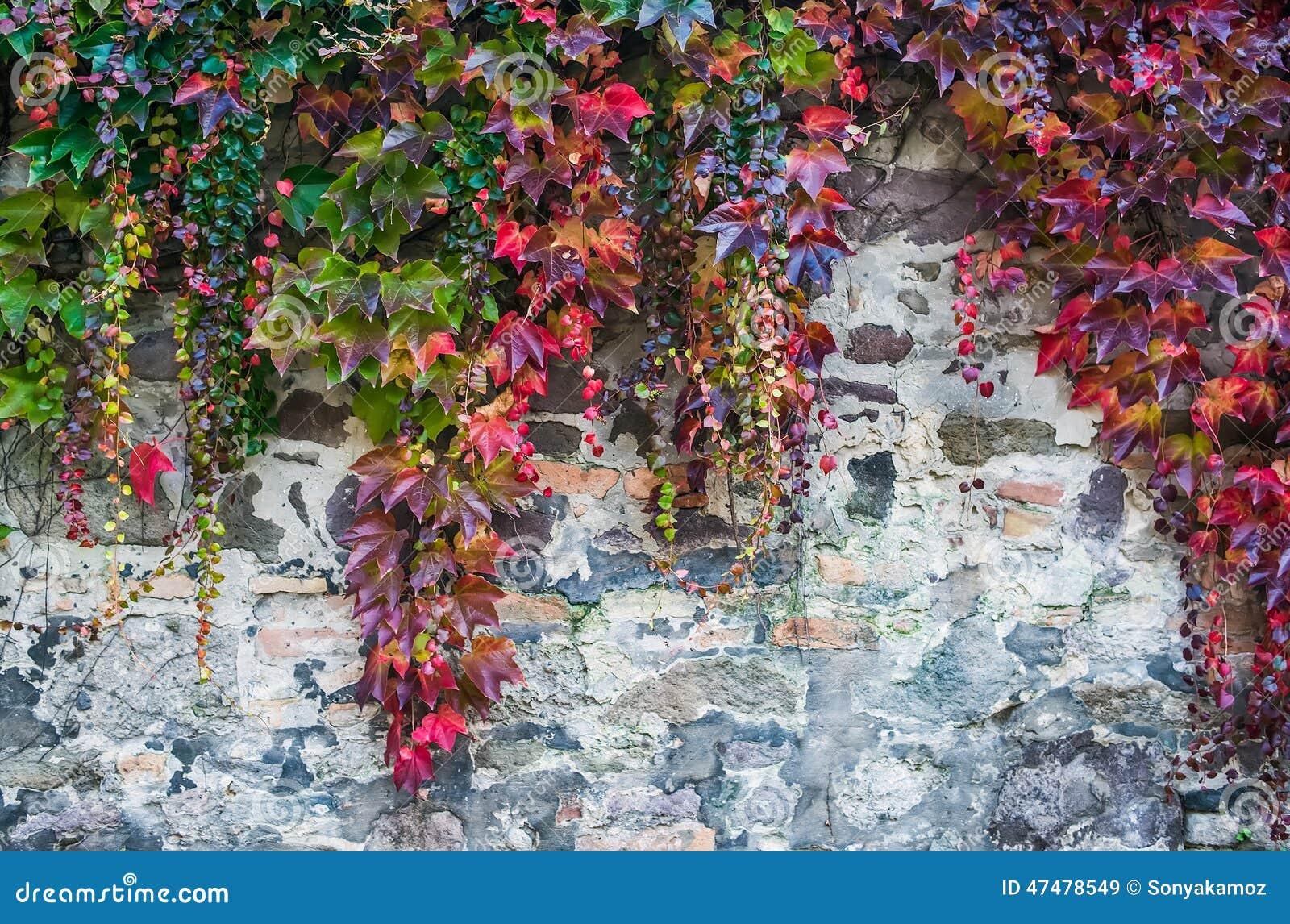 plantes grimpantes sur mur plantes grimpantes sur mur dr treillis en bois mur en pierre. Black Bedroom Furniture Sets. Home Design Ideas
