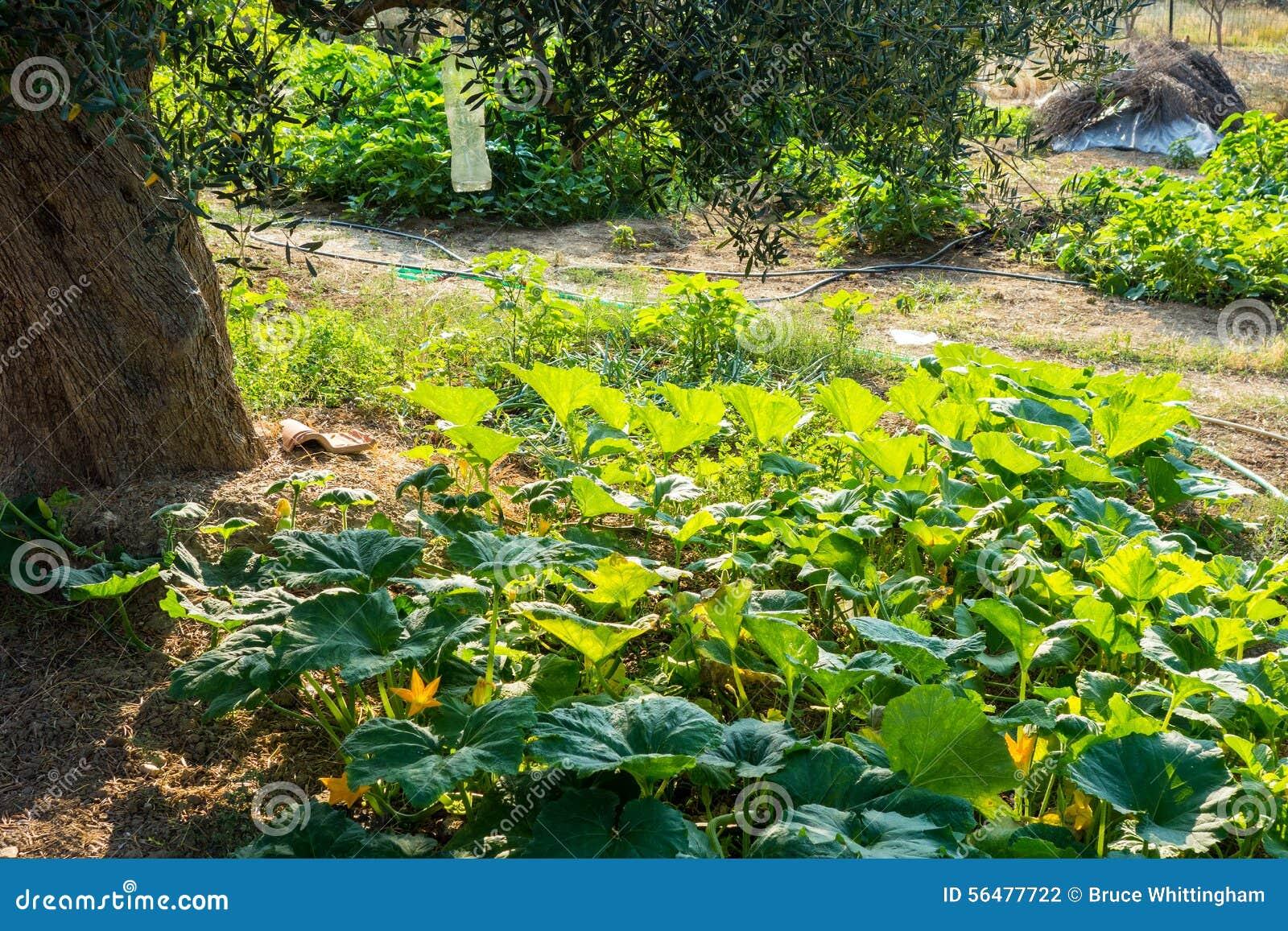 Usines de courgette dans le jardin rural