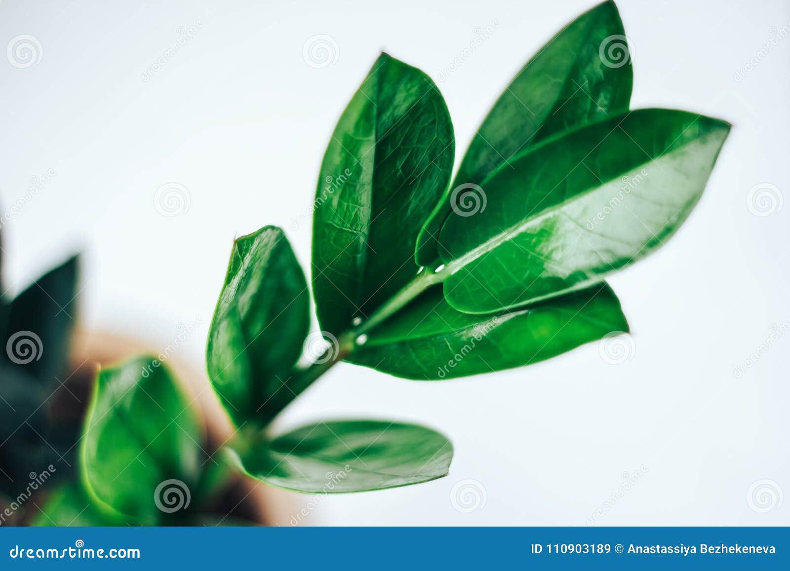 Usines De Fleur De Zamiifolia De Zamioculcas Fleurs Propices Image