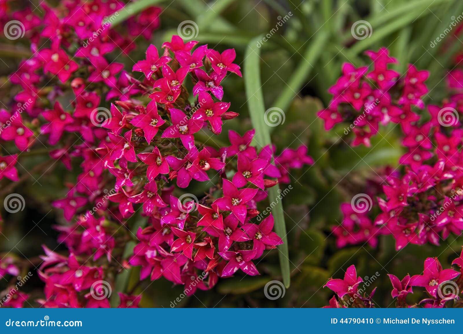 Usines De Kalanchoe En Pleine Fleur Photo Stock Image Du Minuscule