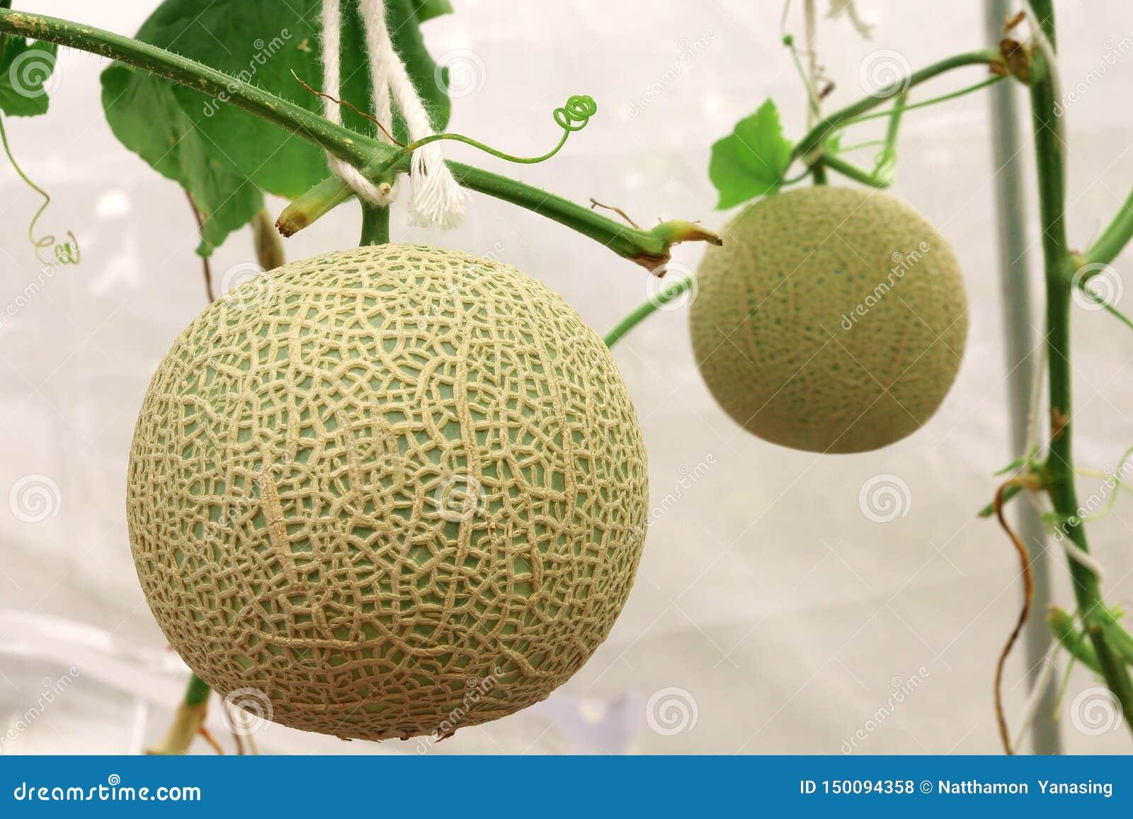 Usines fra?ches de melons de cantaloup s ?levant dans la ferme de serre chaude