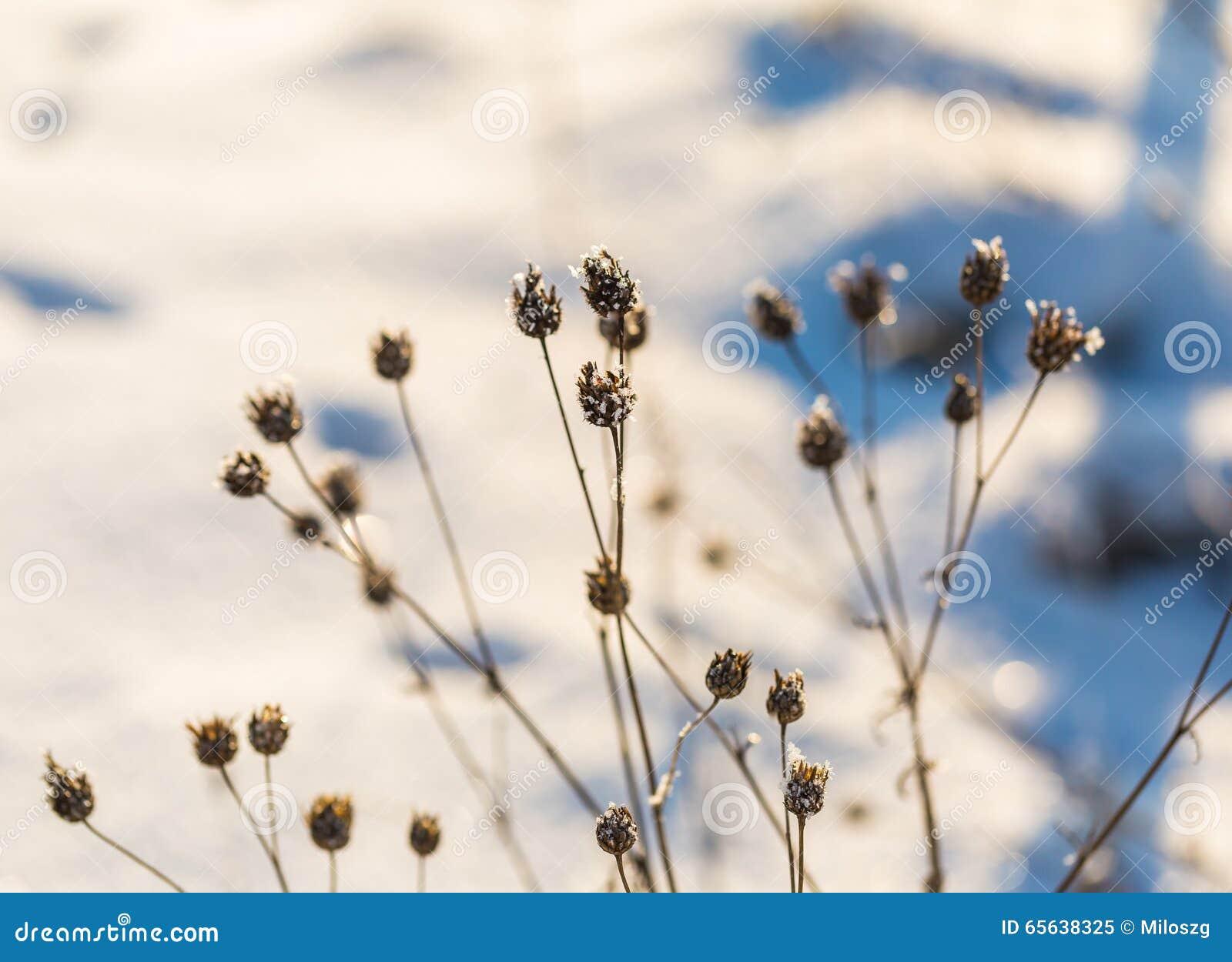 Usines sèches d hiver avec la fin de givre