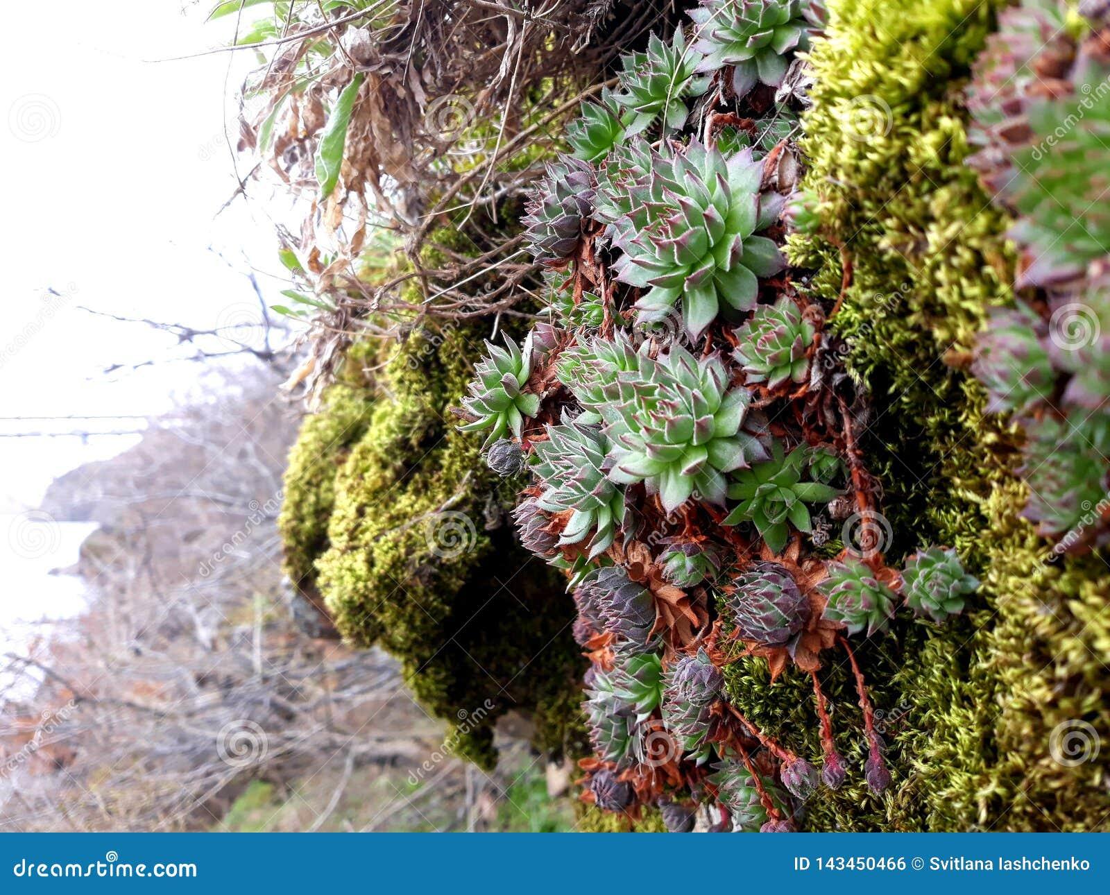 Usines succulentes sauvages