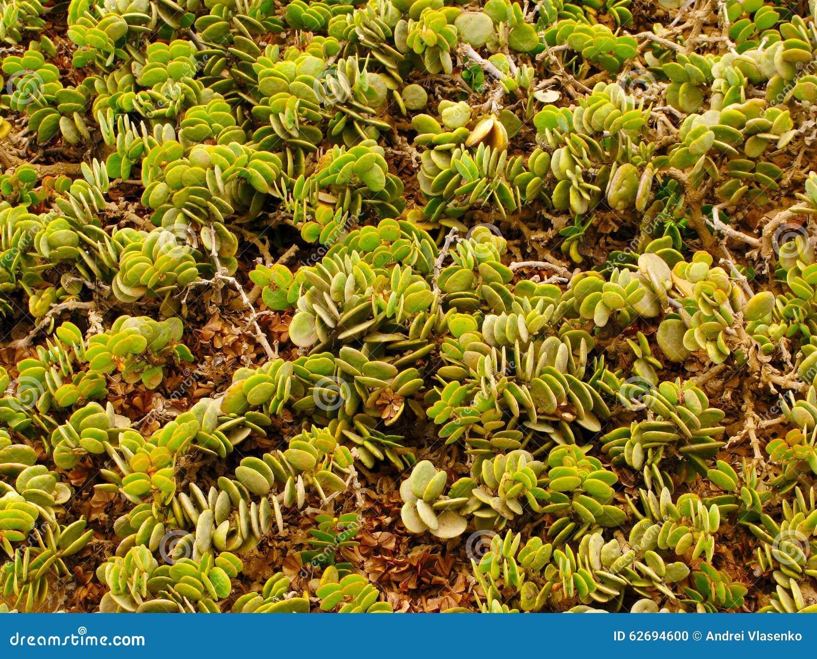 Usines succulentes vertes dans le désert de Namib près de Swakopmund en Namibie