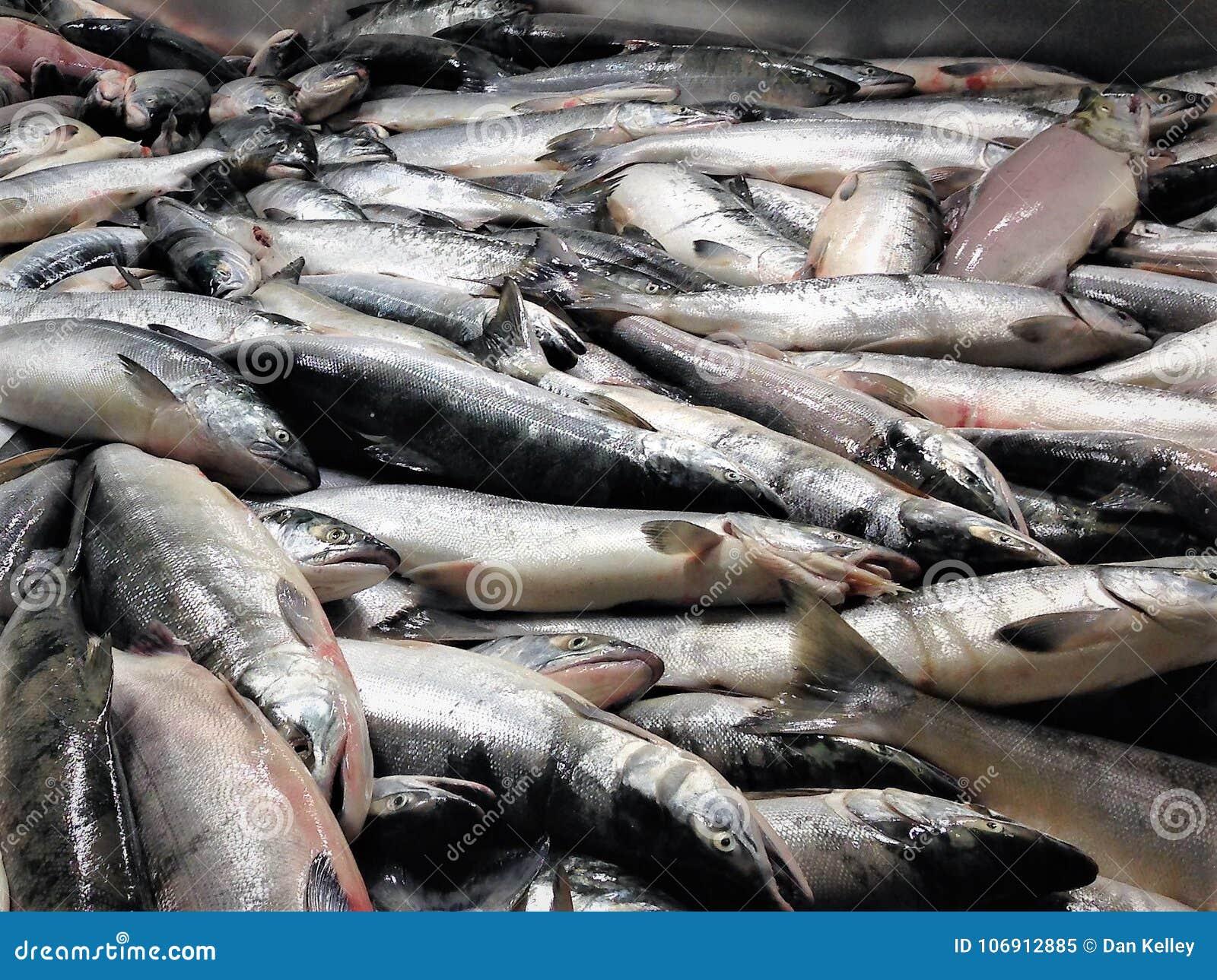 Ustalony netto Sockeye łososia przerób w Alaska