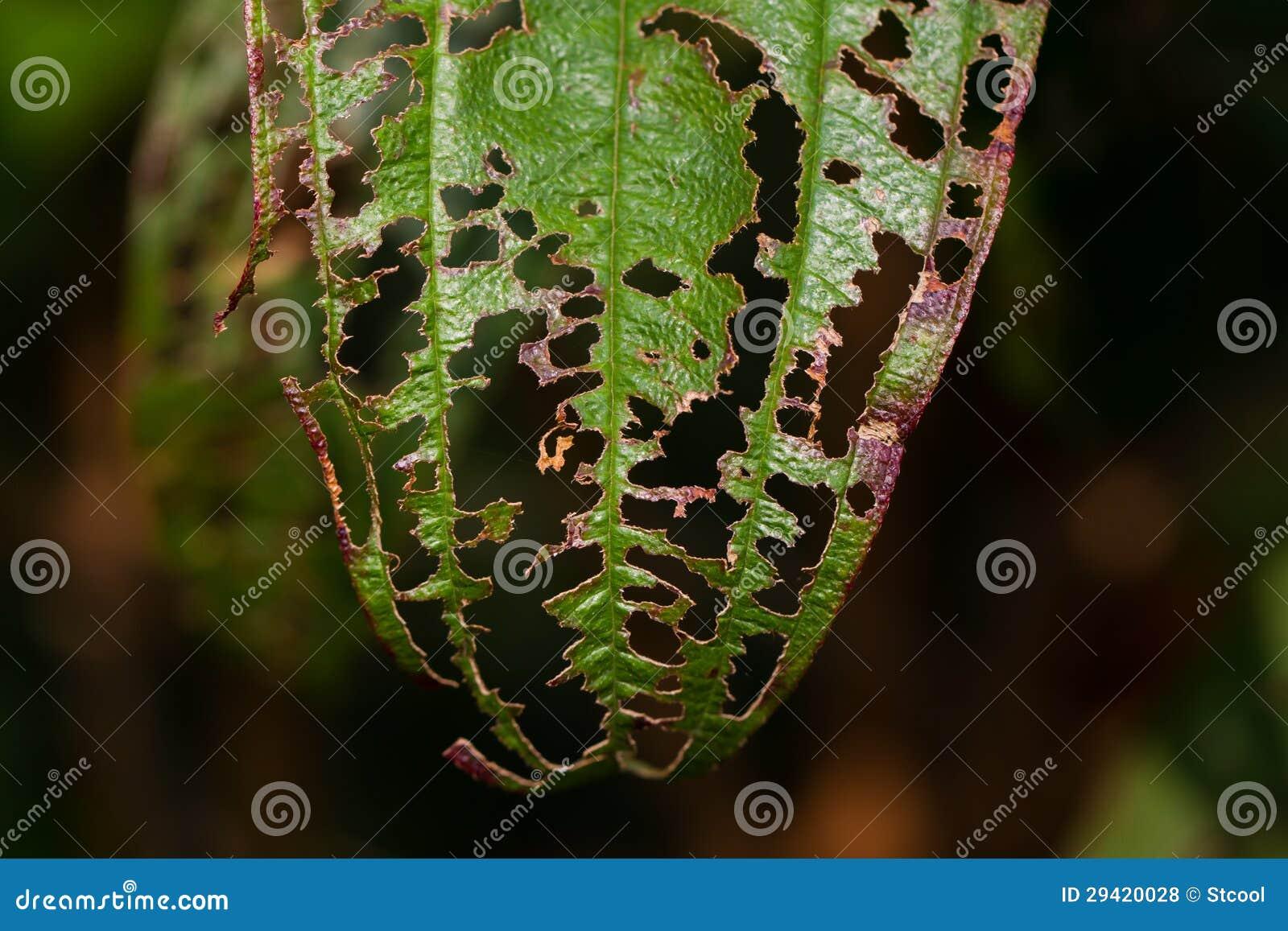 Uszkadzający liść z dziurami